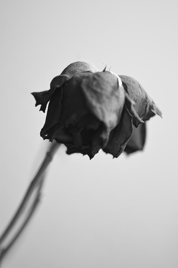Wilted Rose Photograph By Toppart Sweden
