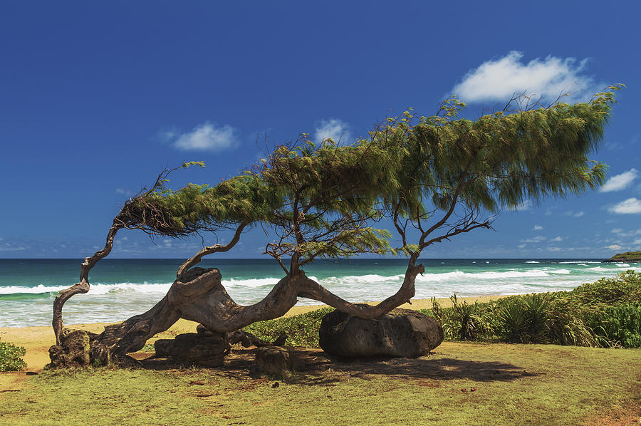 Wind Blown Tree Photograph