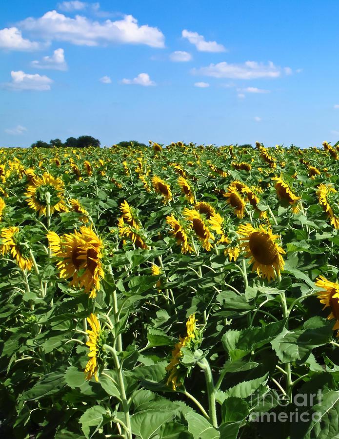 Windblown Sunflowers Photograph