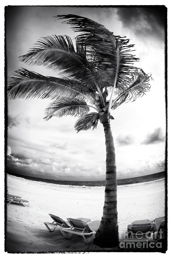 Windy Palm Photograph  - Windy Palm Fine Art Print