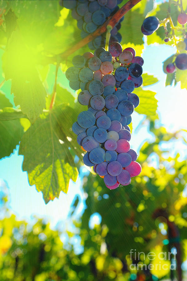 Wine Photograph - Wine Grapes  by Jeff Swan