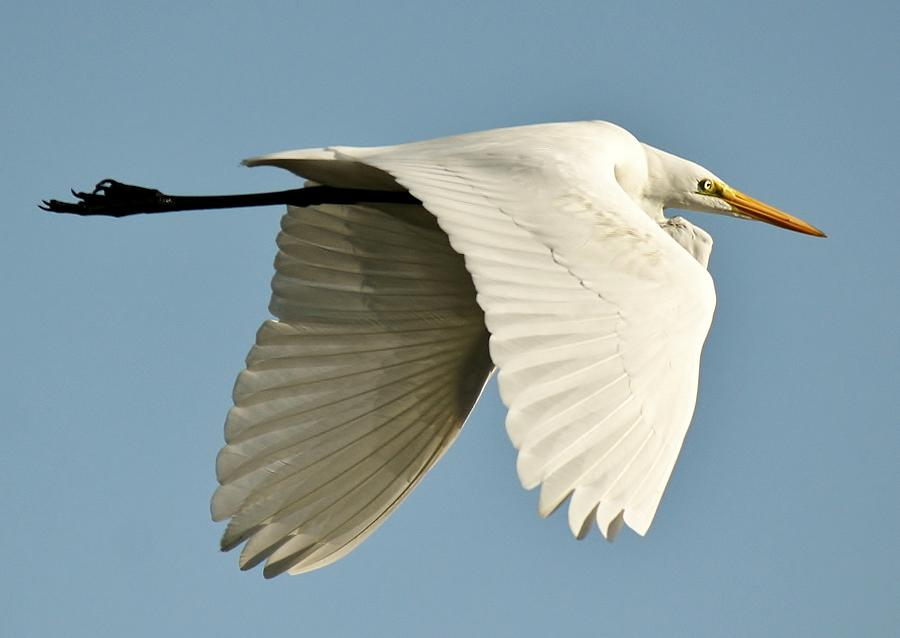 Great White Egret Photograph - Wings Down by Paulette Thomas