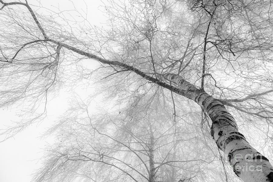 Winter Birch - Bw Photograph