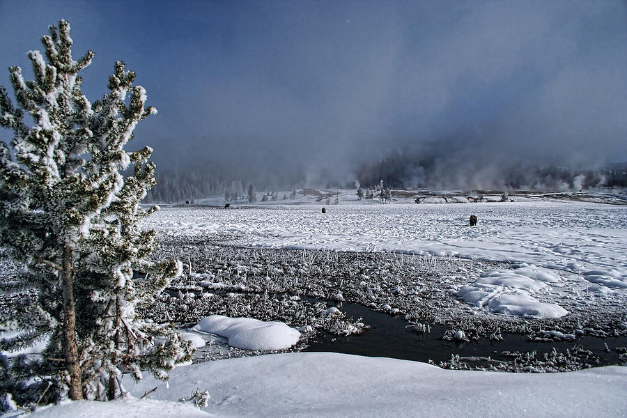 Winter Bison Meadow D7485 Photograph