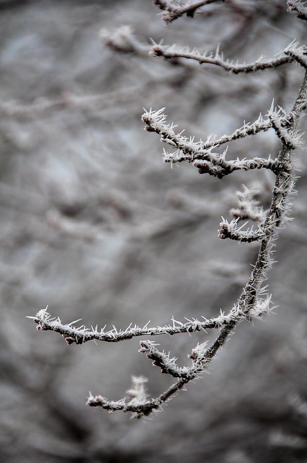 Winter Branch Pyrography