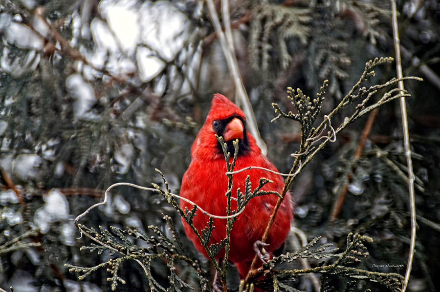 Winter Cardinal 03 Photograph  - Winter Cardinal 03 Fine Art Print