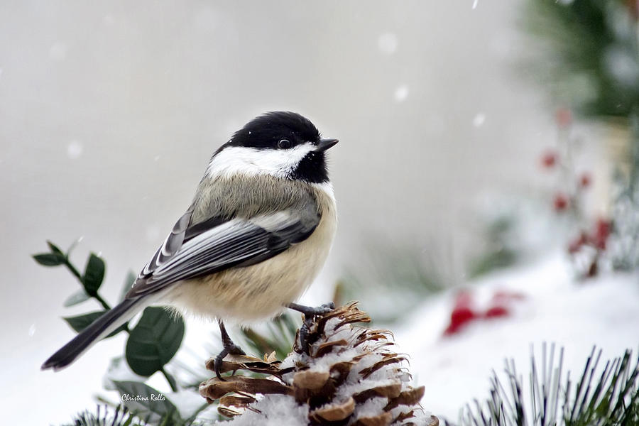 Winter Chickadee Photograph