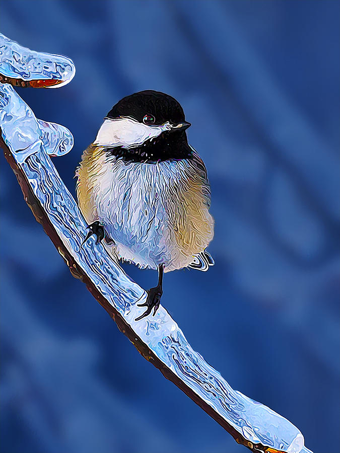 Winter Chickadee Hangs On Photograph