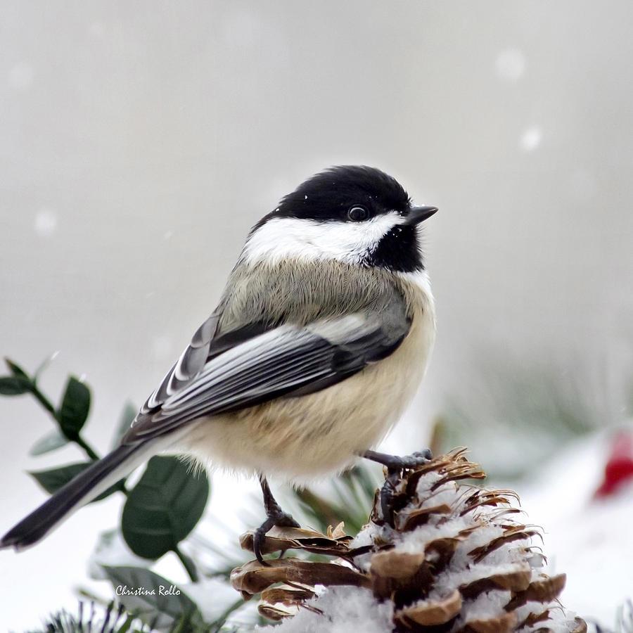 Winter Chickadee Square Photograph By Christina Rollo