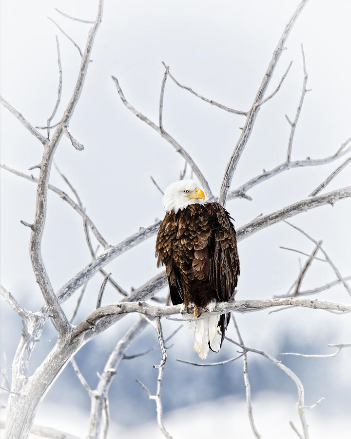 Winter Eagle Photograph