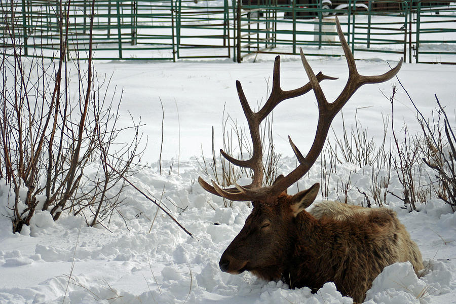 - winter-elk-annette-marshall