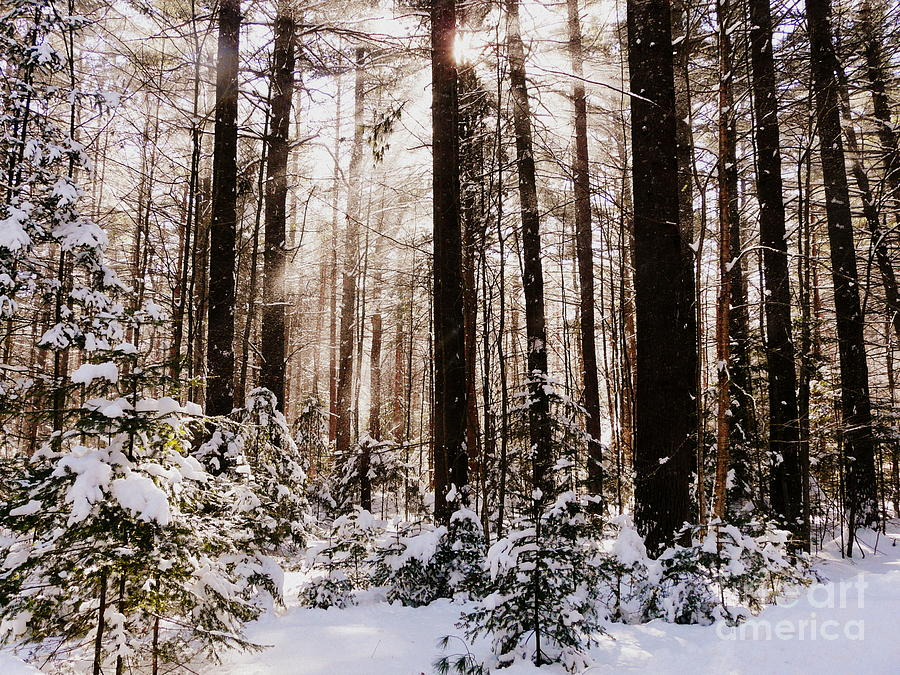 Winter Forest Photograph