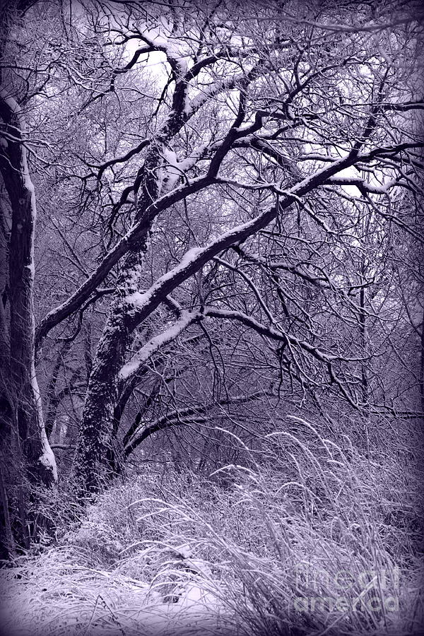 Winter In Purple Photograph  - Winter In Purple Fine Art Print