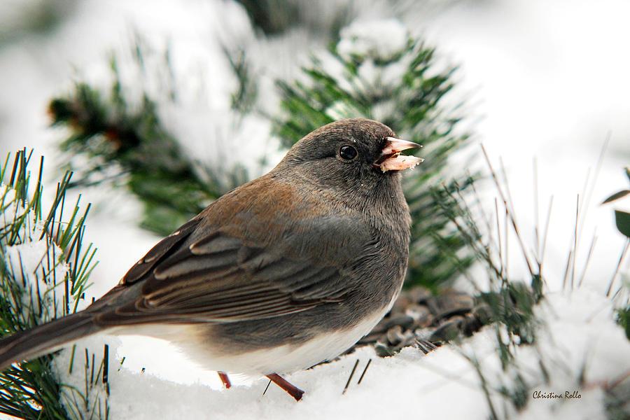 Bird Photograph - Winter Junco by Christina Rollo