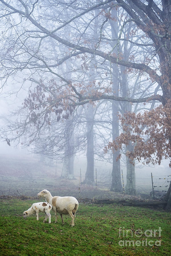 Winter Lambs And Ewe Foggy Day Photograph