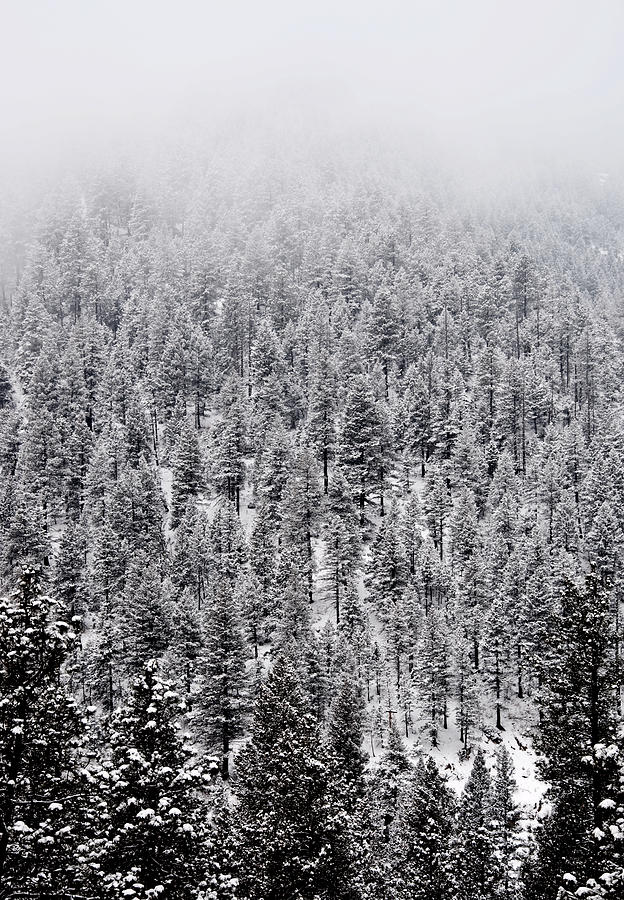 Winter Pines Photograph  - Winter Pines Fine Art Print