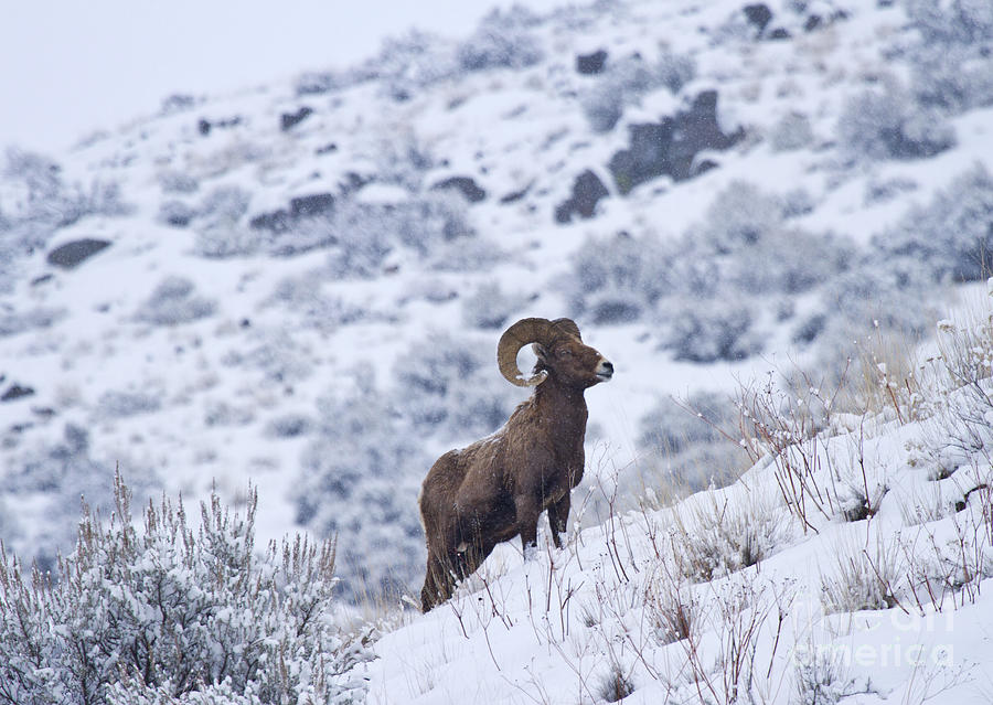 Winter Ram Photograph