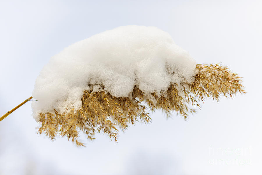 Winter Reed Under Snow Photograph  - Winter Reed Under Snow Fine Art Print