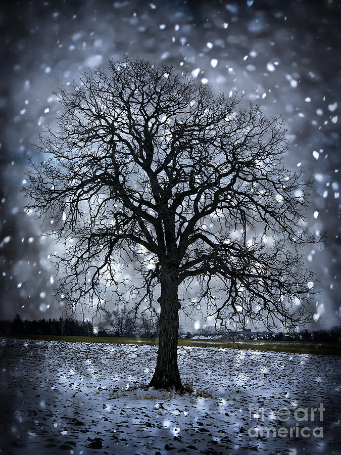 Winter Tree In Snowfall Photograph  - Winter Tree In Snowfall Fine Art Print