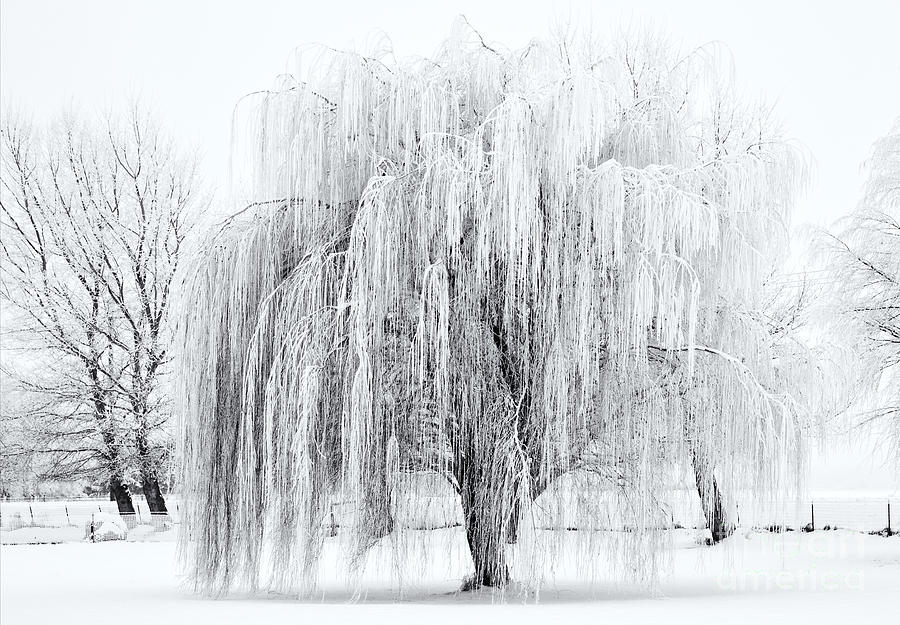 Winter Willow Photograph  - Winter Willow Fine Art Print