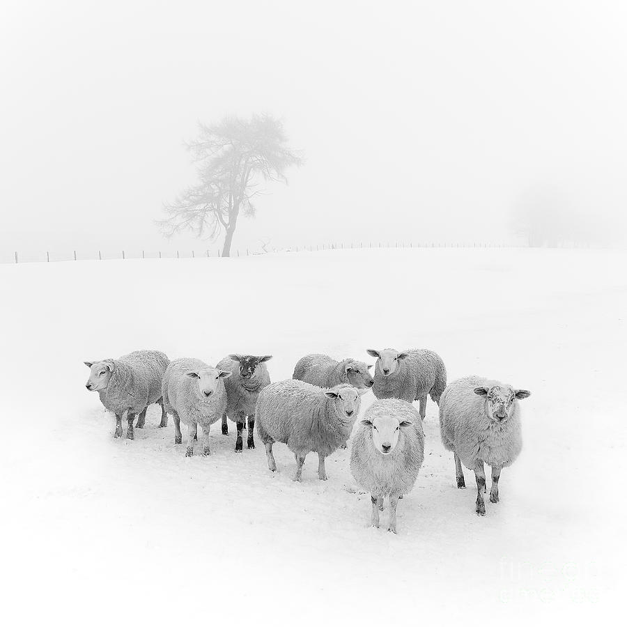 Sheep In Winter Photograph - Winter Woollies by Janet Burdon