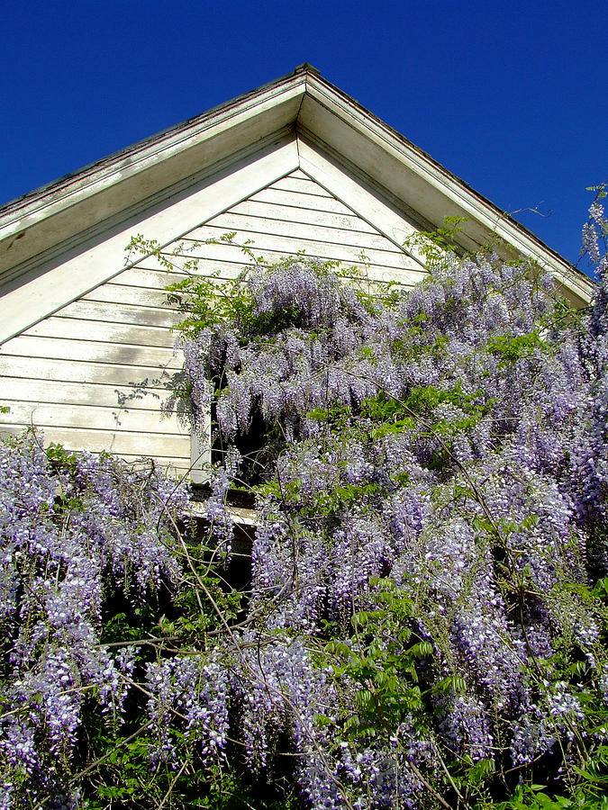 Wisteria Photograph - Wisteria Cascading by Everett Bowers