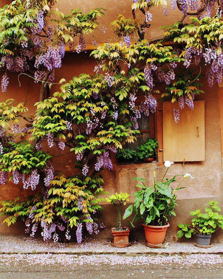 Wisteria On Home In Zellenberg 4 Photograph  - Wisteria On Home In Zellenberg 4 Fine Art Print