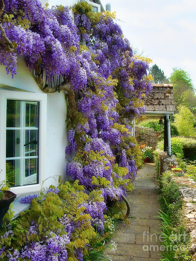 Wisteria Welcome Photograph  - Wisteria Welcome Fine Art Print