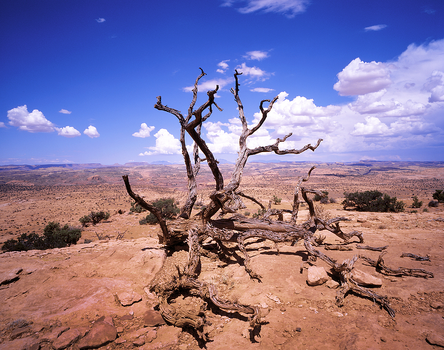 Withered Tree Paria Canyon Photograph by Rich Franco