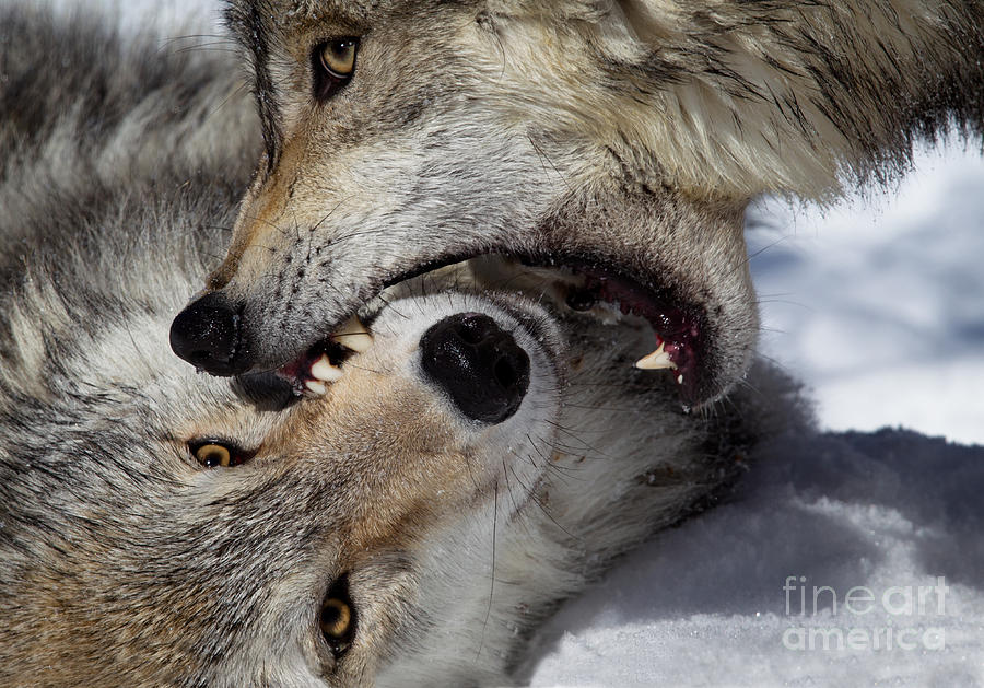 Wolf Bite Photograph By Jerry Fornarotto