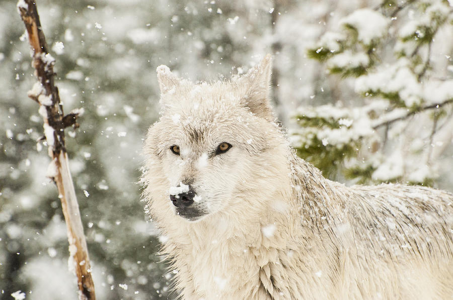 Wolf In Snow is a photograph by Donna Doherty which was uploaded on ...