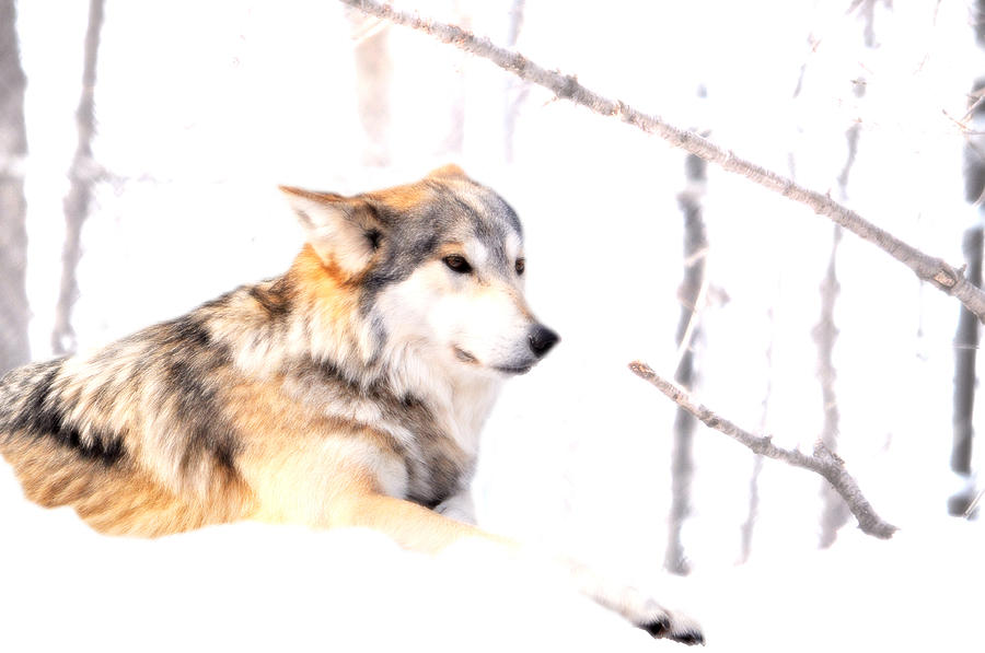 Wolf Photograph - Wolf In White by Emily Stauring