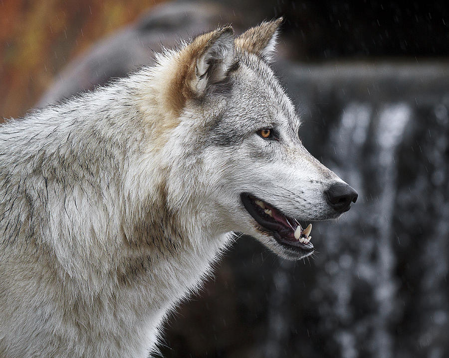 Wolf Smile D9933 Photograph