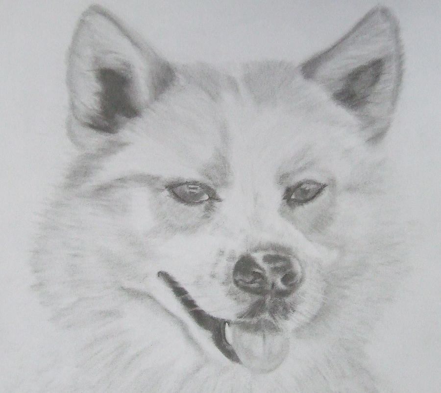 Wolf The Husky Drawing  - Wolf The Husky Fine Art Print
