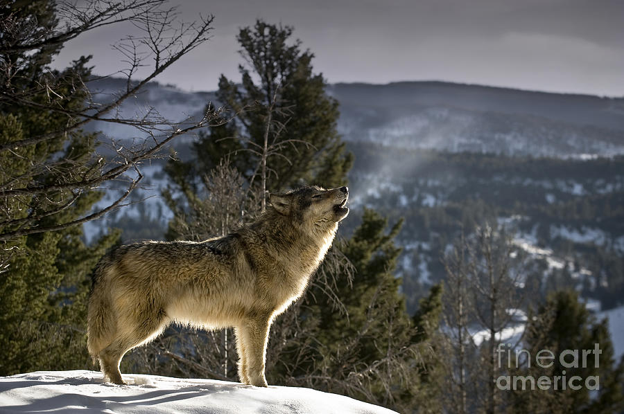 Wolves Nature Song Photograph