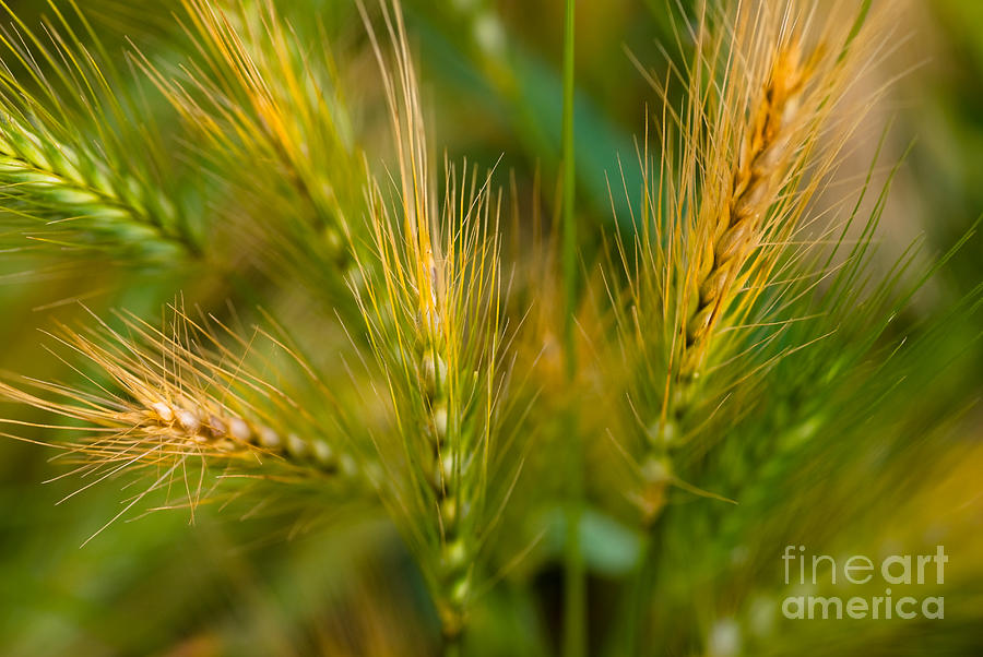 Wonderous Wild Wheat Photograph  - Wonderous Wild Wheat Fine Art Print