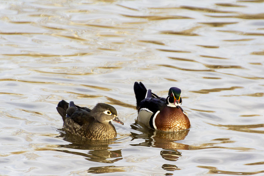 Wood Duck Pair Photograph