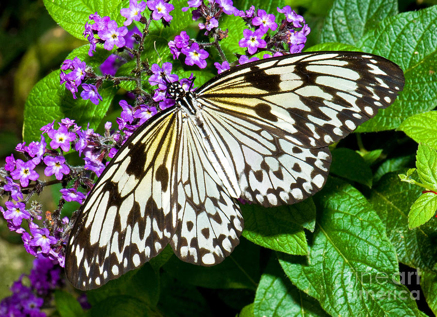 Wood Nymph Butterfly Photograph by Millard H. Sharp
