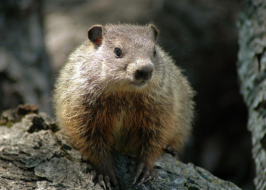 Woodchuck Photograph