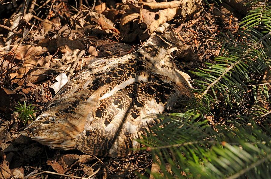 Woodcock On Her Nest Photograph - Woodcock   Sitting Tight by Sandra Updyke