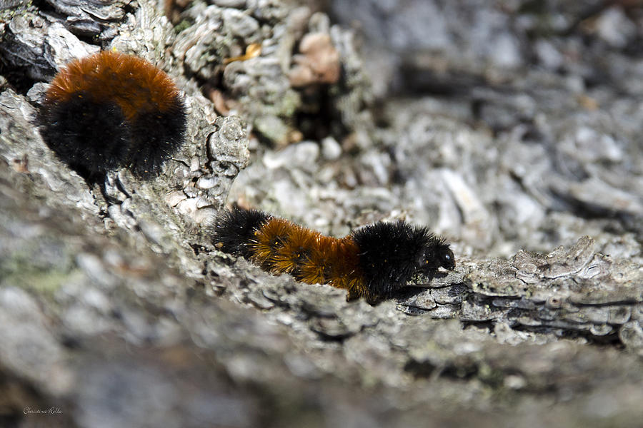 how to take care of a woolly bear caterpillar