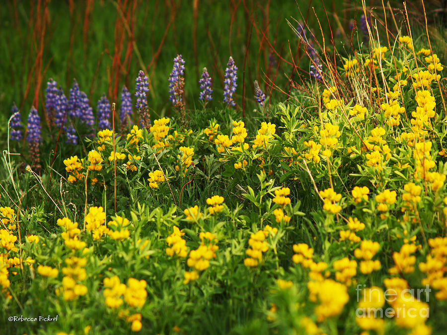 Wyoming Wildflowers Photograph