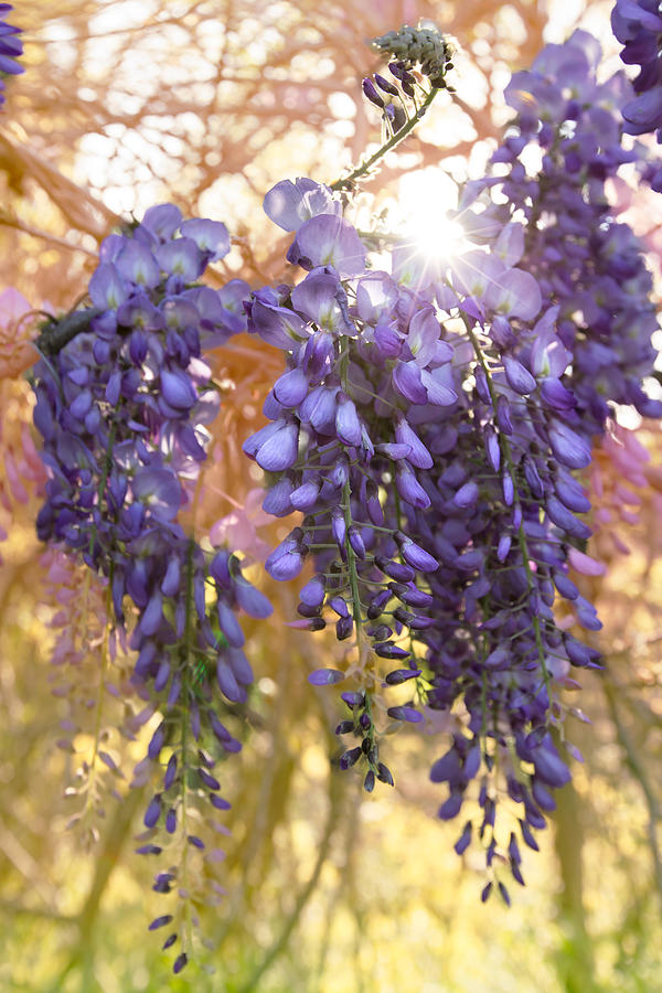 Wysteria Photograph