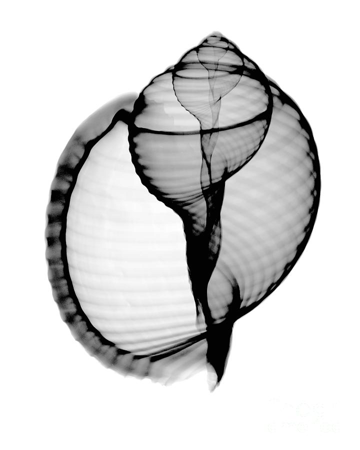 Radiograph Photograph - X-ray Of Scotch Bonnet by Bert Myers