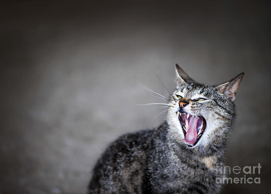 Yawning Cat Photograph  - Yawning Cat Fine Art Print