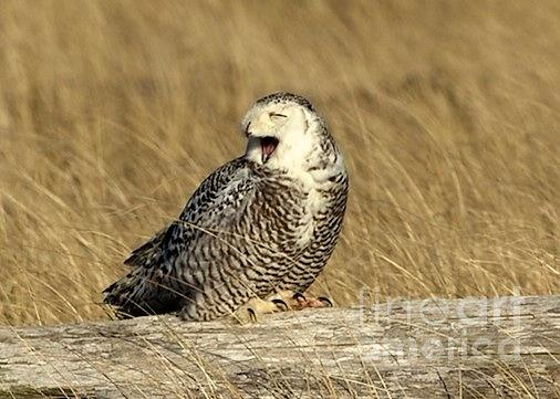 Yawning Owl Photograph