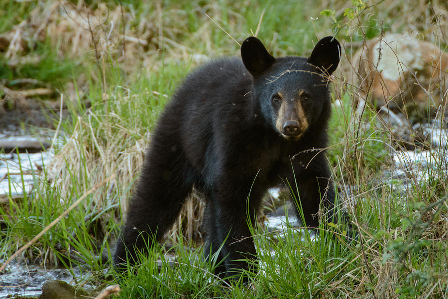 Yearling Black Bear By Charlie Choc Royalty Free And