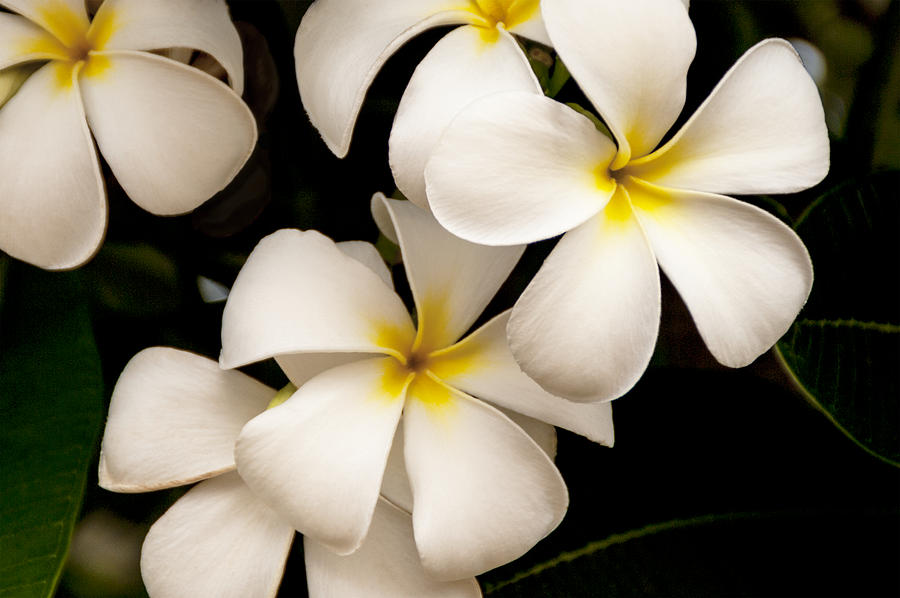 Yellow And White Plumeria Photograph