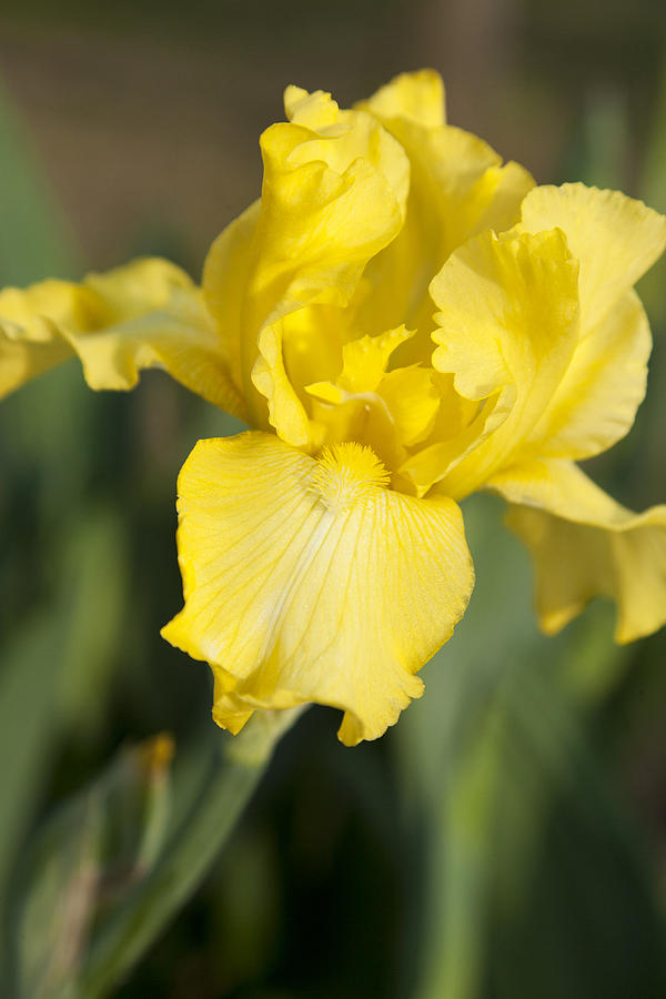 Yellow Photograph - Yellow Beard by Christopher McPhail