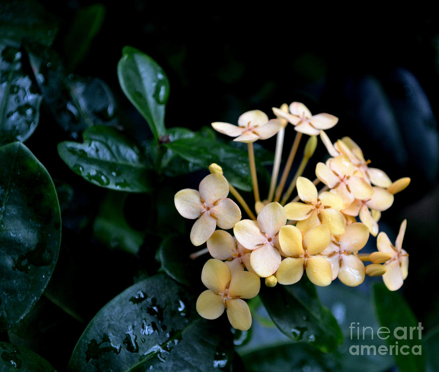 Yellow Beauties Photograph by Eva Thomas